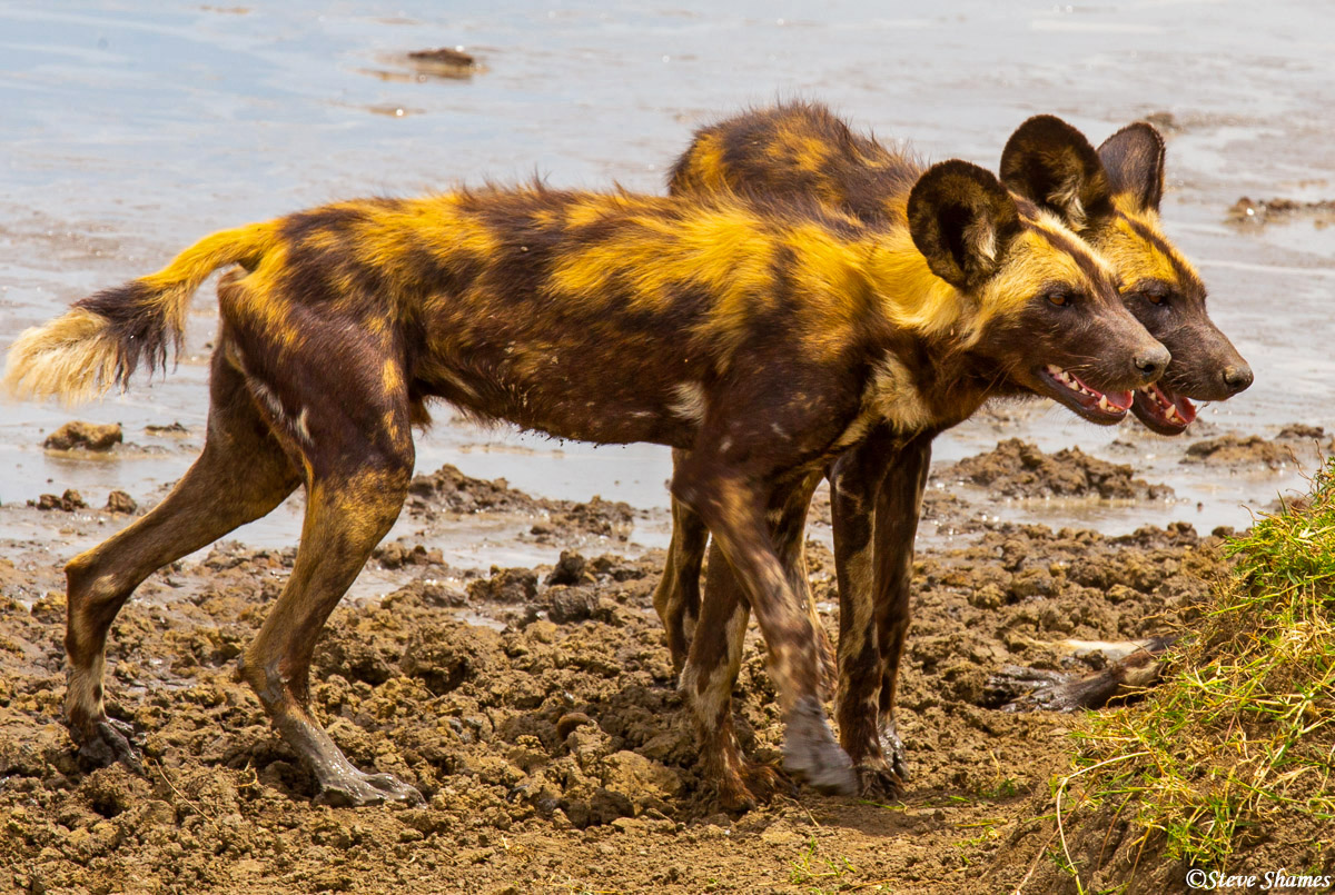serengeti national park, tanzania, painted wolves, photo