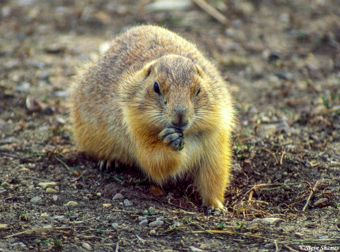 I came across a prairie dog town right by Devils Tower. This chubby little guy must be fattening up for the winter.