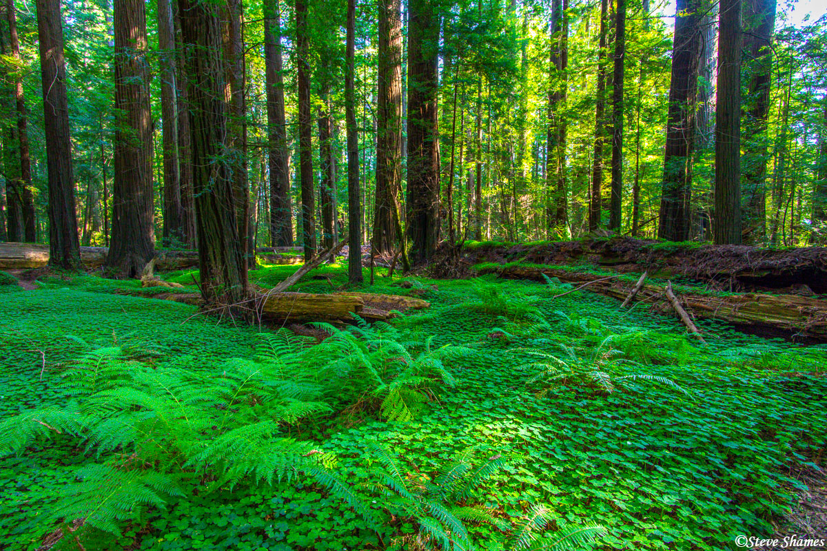 redwood national park, northern california, forest floor, photo