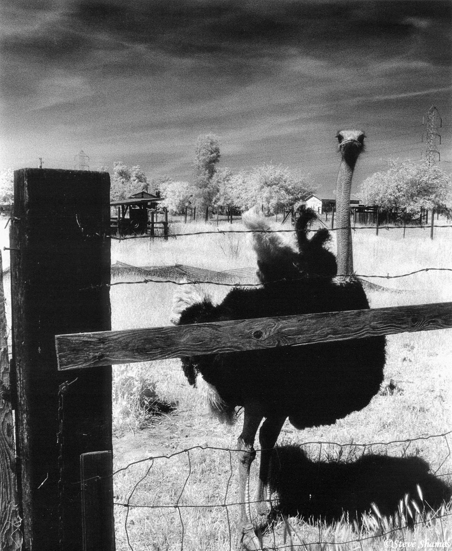rio linda, california, ostrich ranch, infrared film, photo