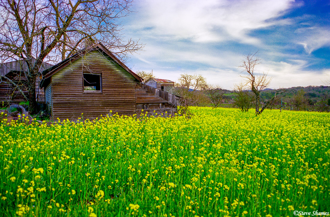 napa valley, northern california, rural scene, mustard in bloom, photo