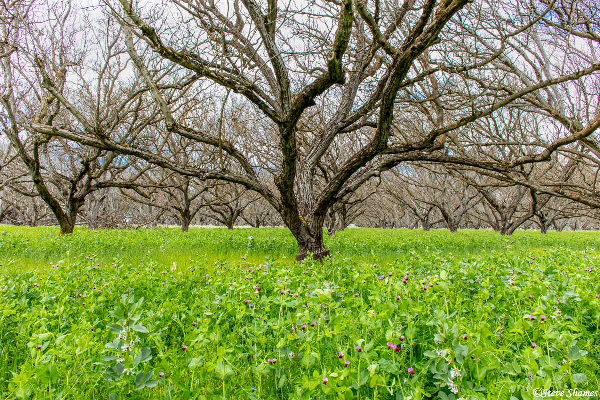 I like the contrast between the bare branches and the thick ground cover. This was right next to the Sacramento River.