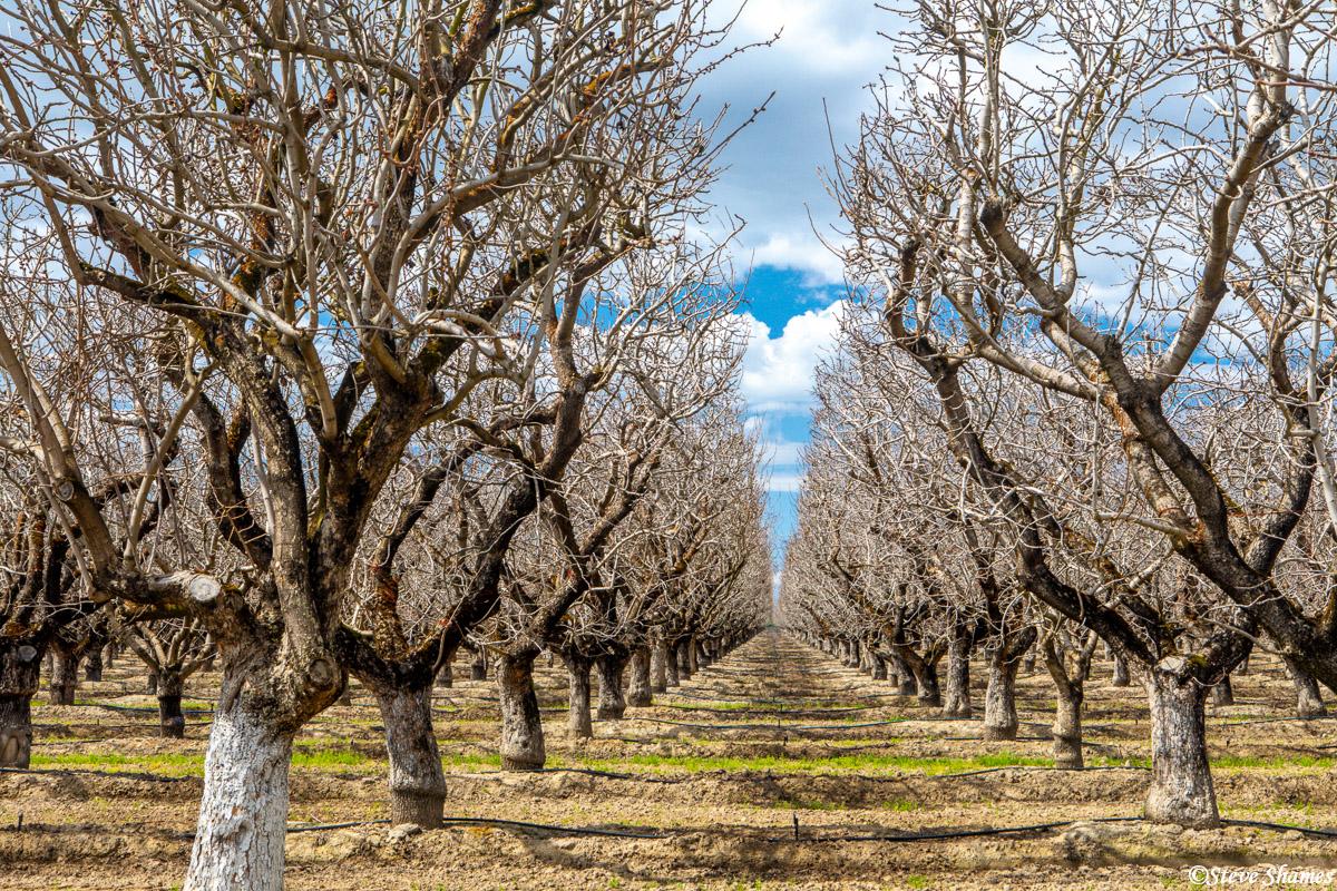 sacramento valley orchard, yolo county, farmlands, photo