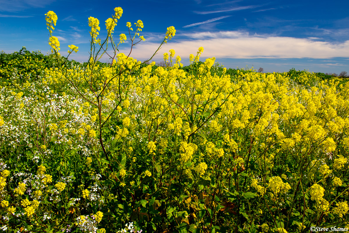 sacramento valley, wild mustard, farmlands, photo