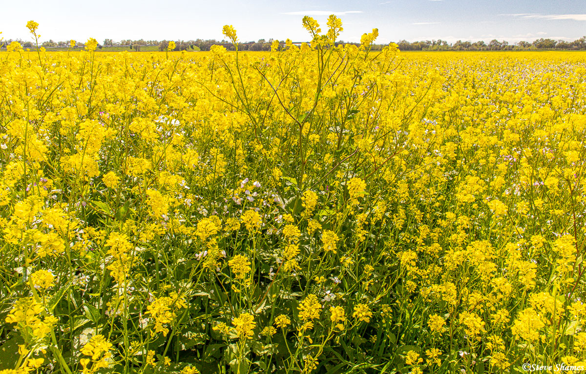 "Along a dirt road called ""Schoolhouse Road"", nothing but thick wild mustard as far as one can see."