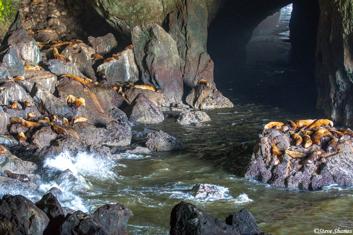 On the Oregon coast close to the town of Florence, is the Sea Lion Cave which is a nice shelter for them from the elements. From...