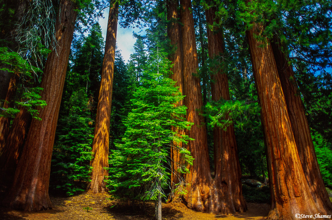 sequoia national park, grove, older trees, photo