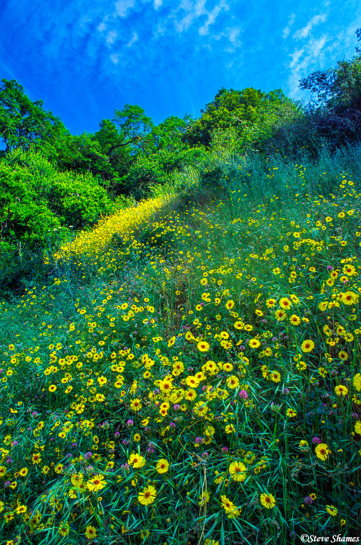 sequoia national park, colorful flowers, photo