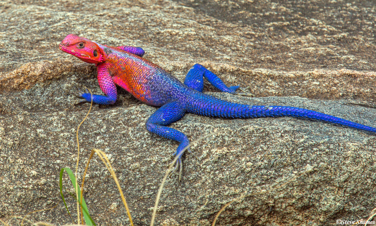 My favorite African lizard, the Agamid, in its blue and red outfit.