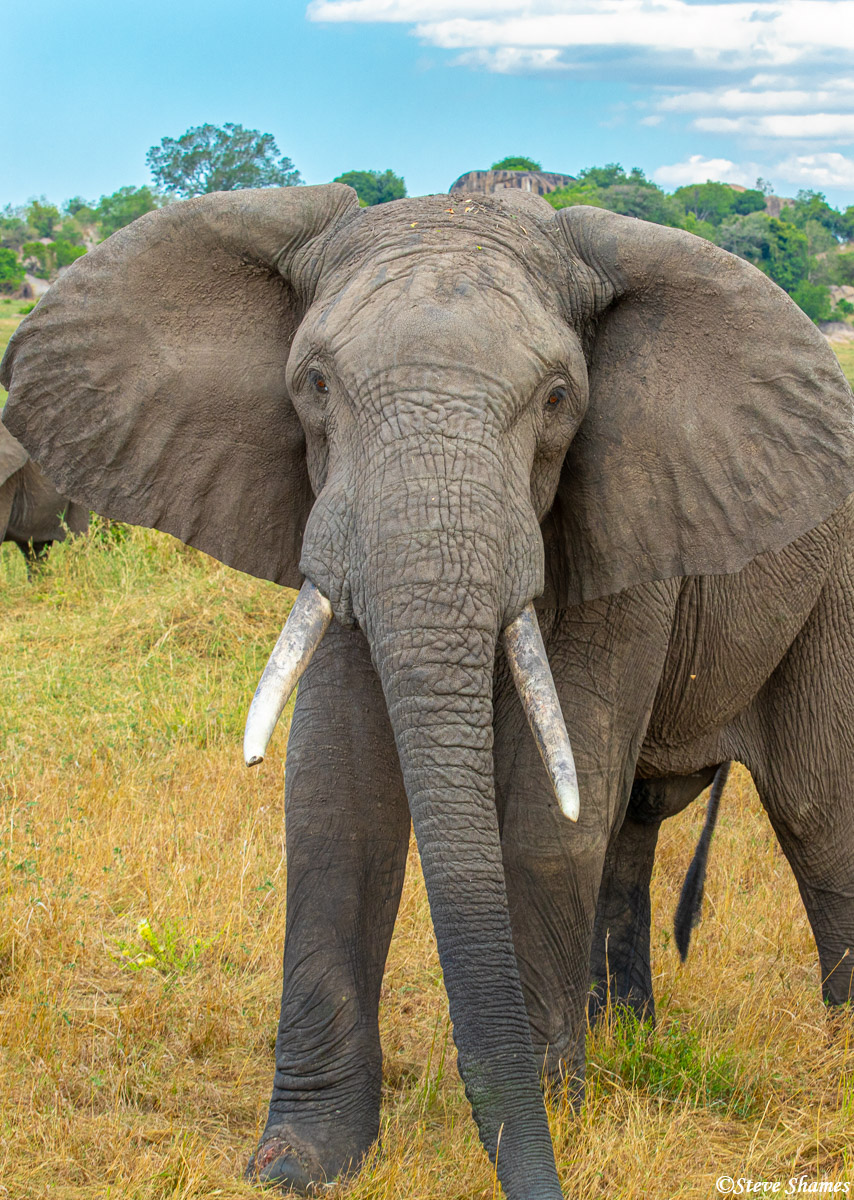 The African elephant - the largest land animal on earth.