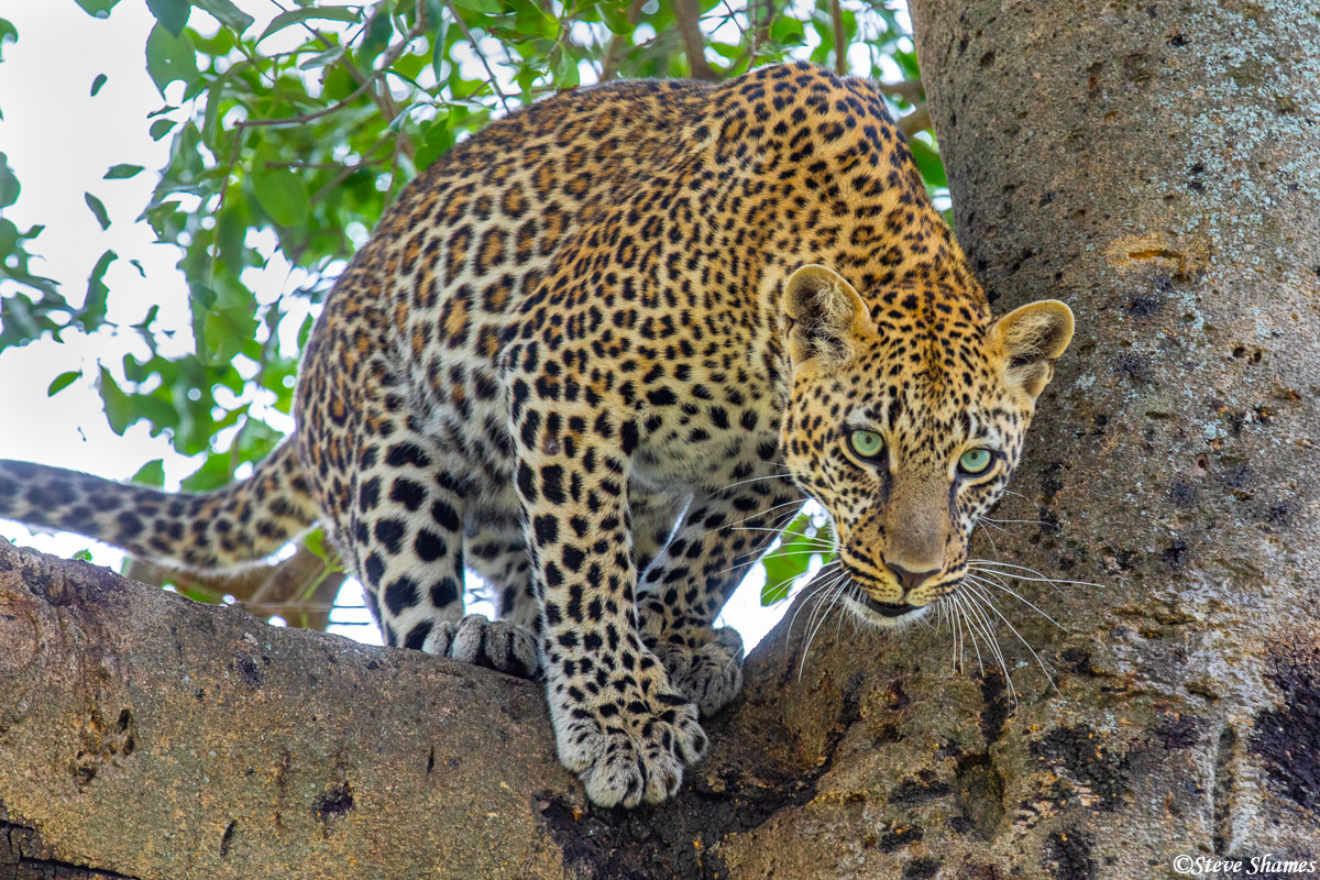 African leopard in the tree, where they like to hang out.