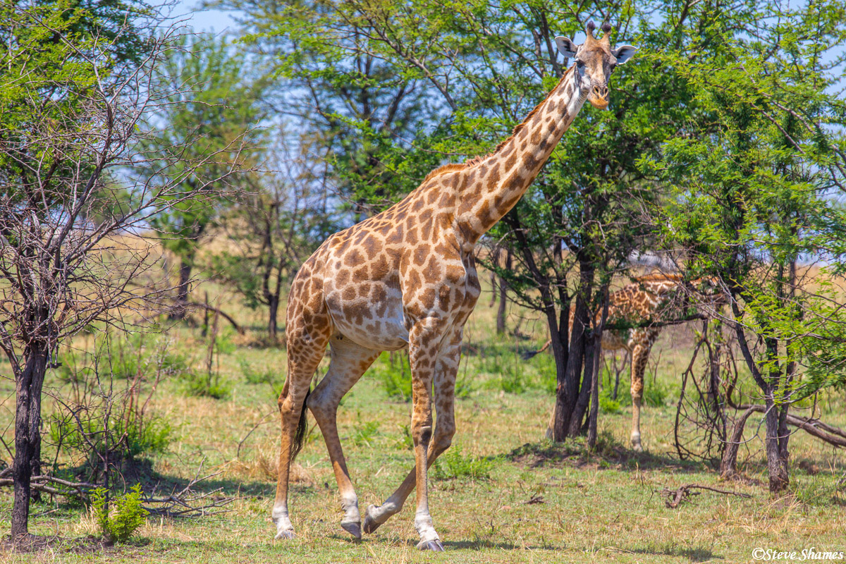 Practically nothing says AFRICA more than a giraffe. Here is a Masai giraffe taking a stroll.