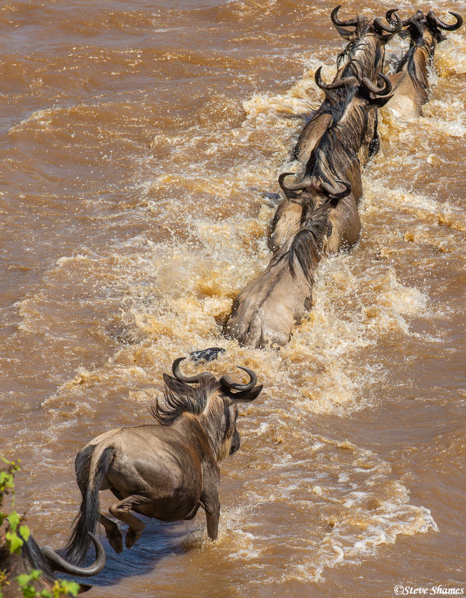 A line of wildebeest jumping into the Mara River.