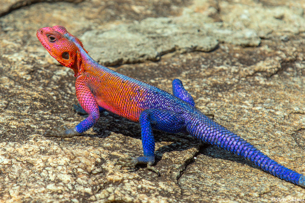This colorful lizard is an Agamid lizard. This is easily the most vividly colored lizard I have ever seen.