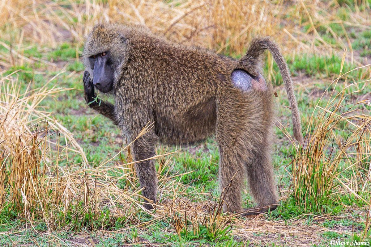 Baboon browsing around, like baboons like to do.