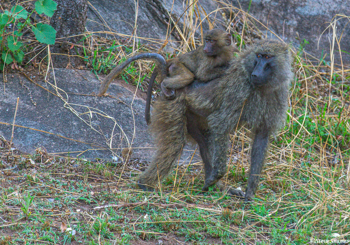 Baboon youngster hitching a ride on its mothers back.