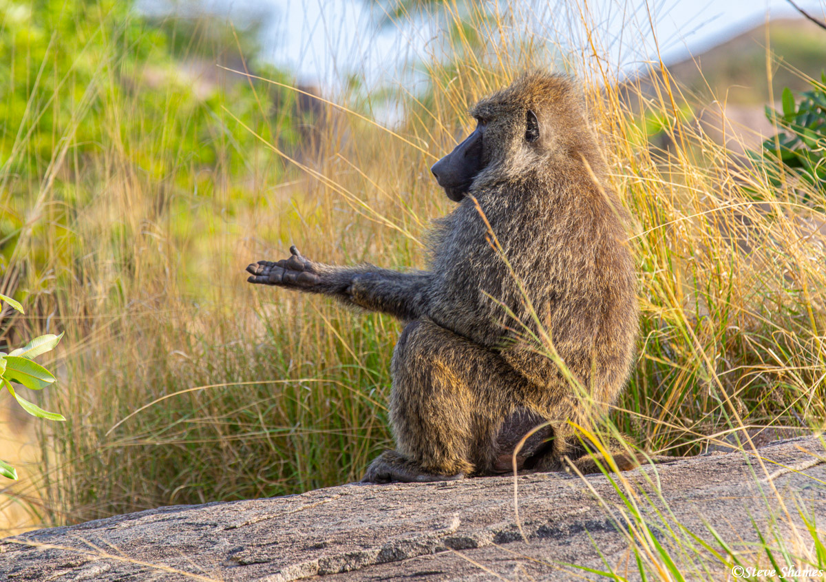 """This baboon is holding his hand out like its begging -- """"brother can you spare a dime?"""""""