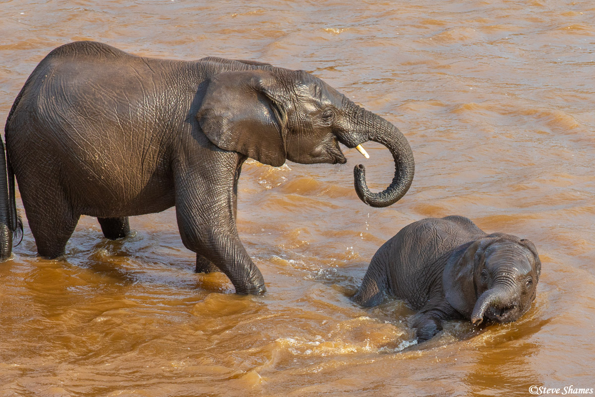 This elephant calf kept falling down in the river, but the adults kept helping it up.