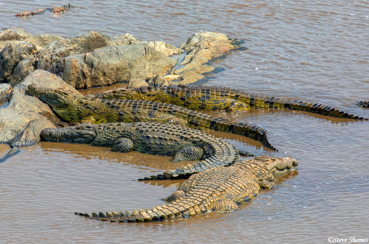 """A group of crocodiles is called a """"bask"""", of all things. There were quite a bit of them in the Mara River at the spots where..."""