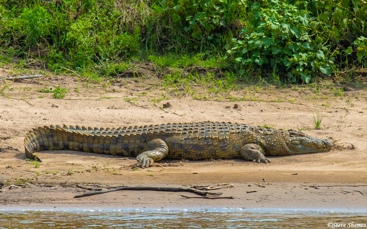 A crocodile basking in the sun on the banks of the Mara River. A sight like this can make the wildebeest think twice about crossing...