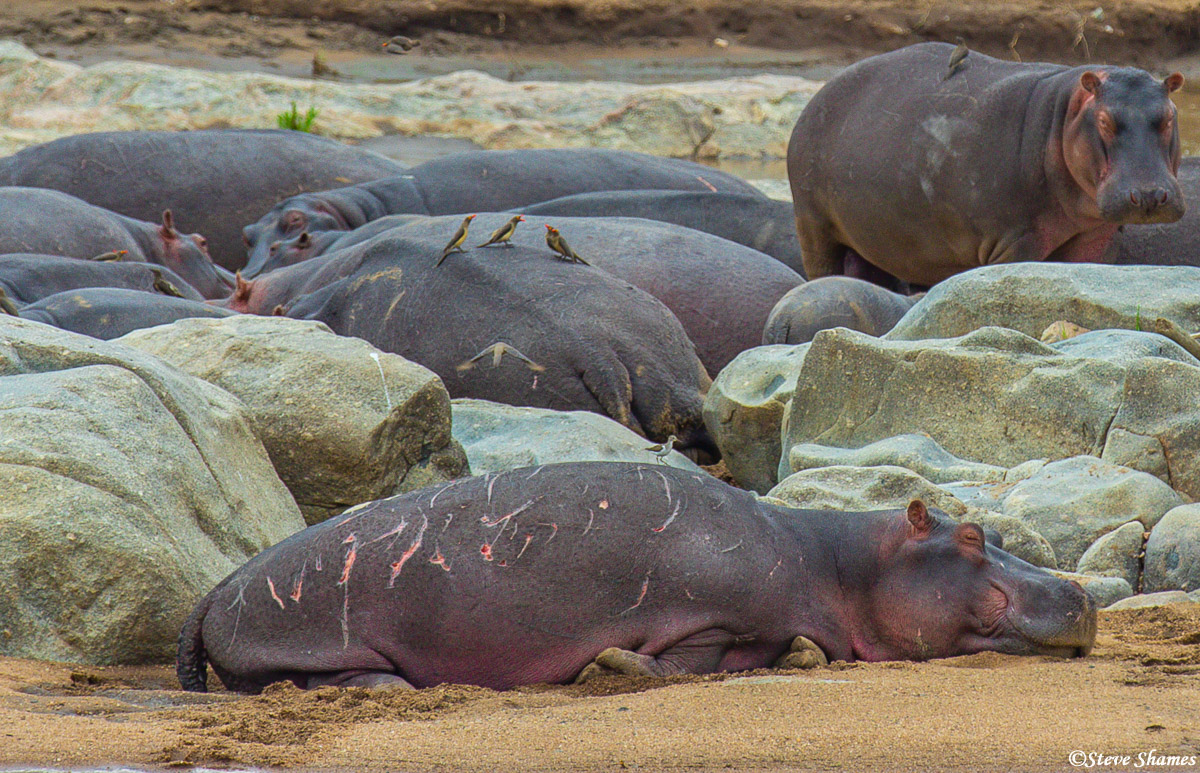 Bull hippos are very aggressive. This one is pretty banged up, probably from fighting other bulls.