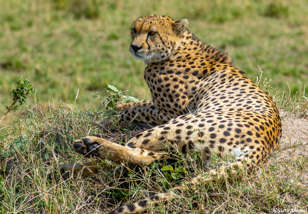 Cheetah looking around. Danger and prey are the main things they look for.