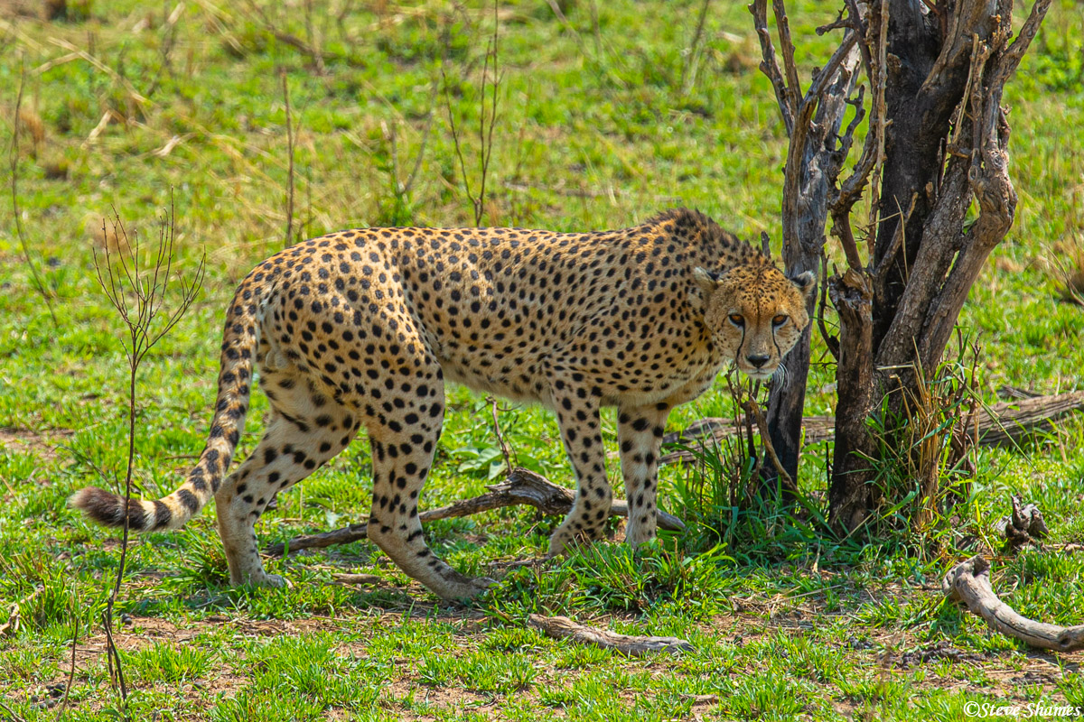 Cheetah of the lookout. Just one hyena is a serious threat to them, lions and leopards too. Lions will kill them if they can...