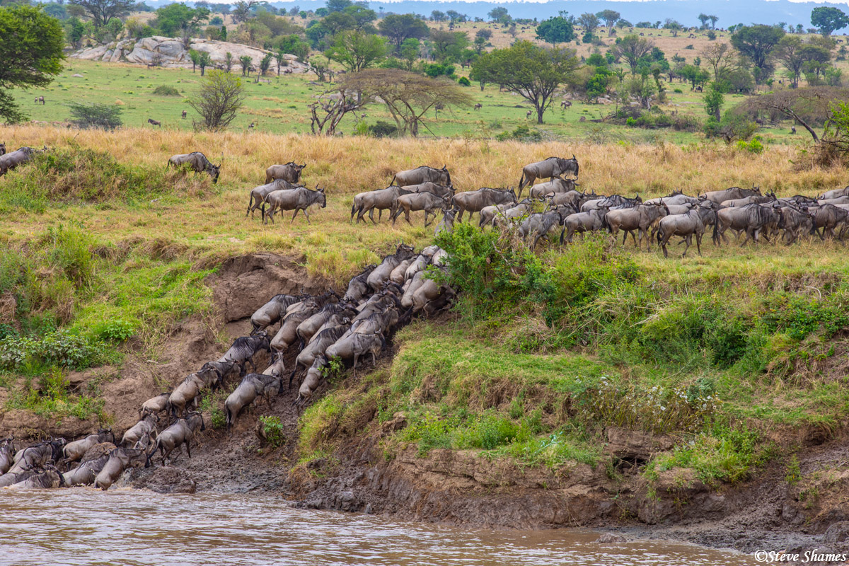 Wildebeest climbing out of the Mara River. They calm down quite a bit once they are out of the river.