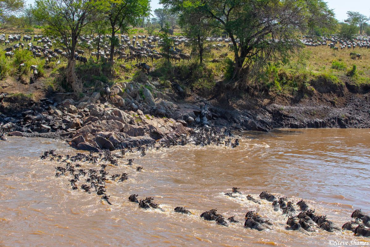 Crossing the Mara River to get to the better grass on the other side. Its all about the grass -- for the wildebeests.