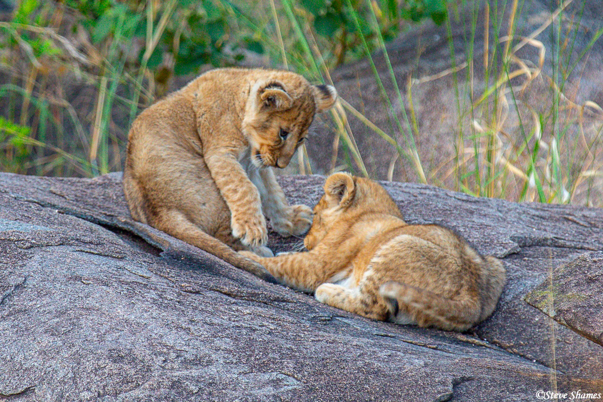 Lion cubs doing what they do most of their waking hours -- play fighting.