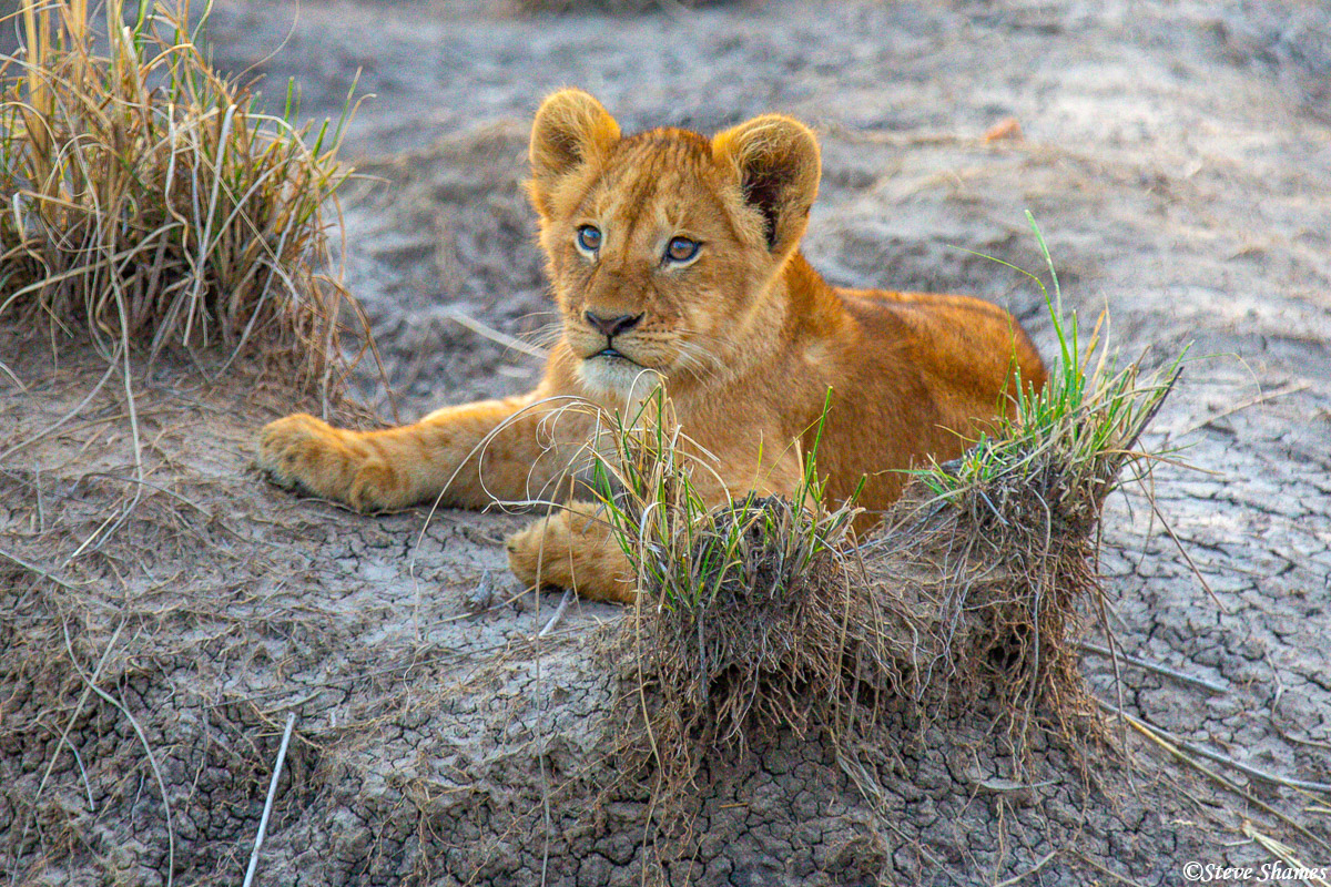 Here is a lion cub with a curious look about him.