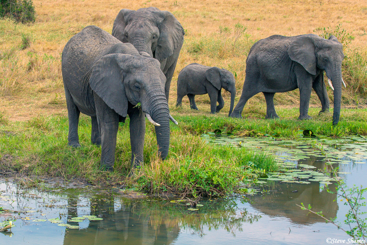 Elephant family at a marsh. Looks like cows and calves.