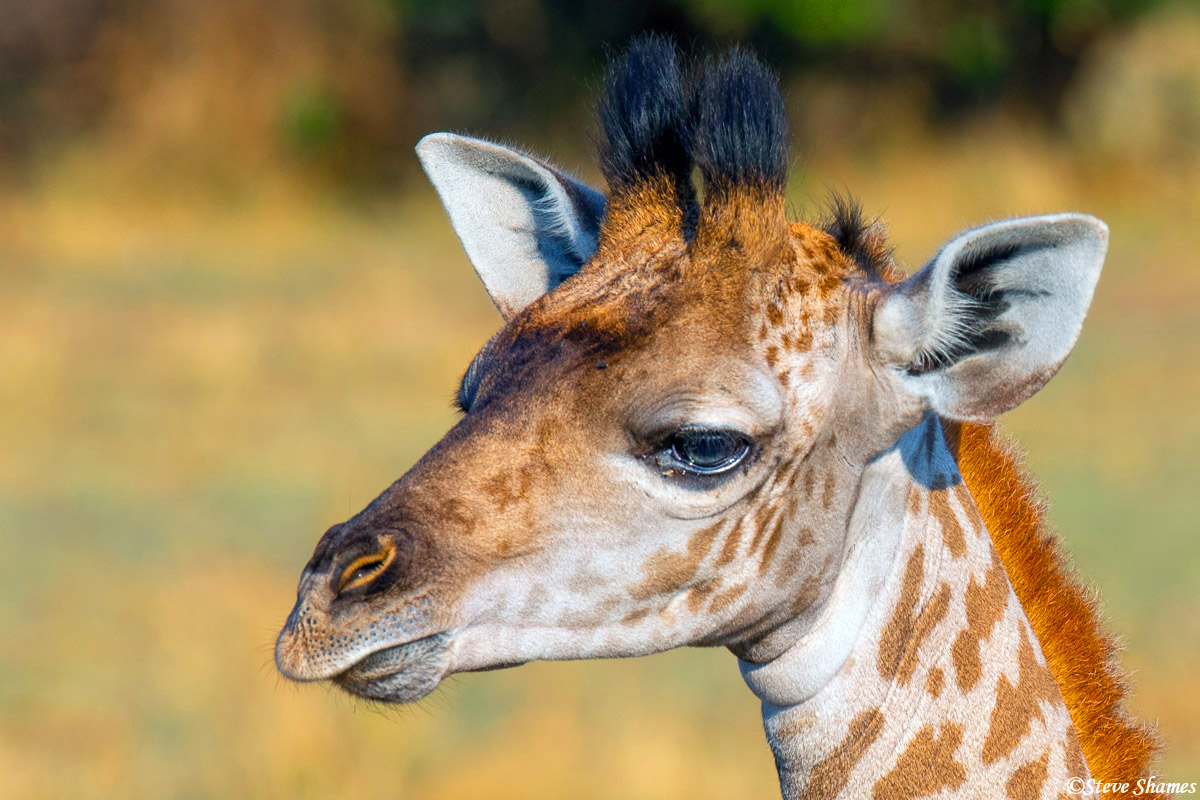 I like to do close ups of giraffe faces. They have a different sort of look with those furry little horns.
