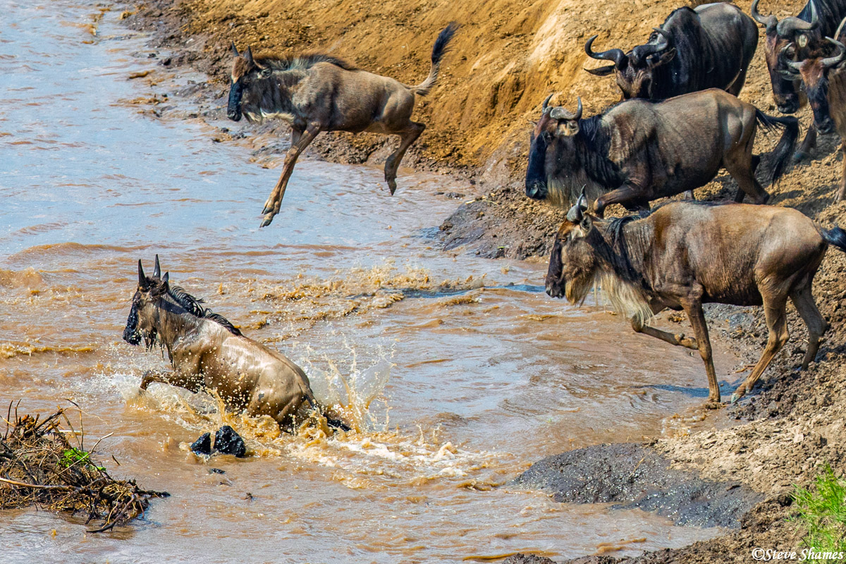That wildebeest calf is doing a high jump into the river.
