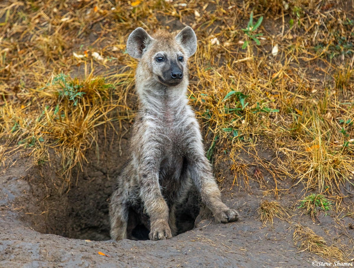 A hyena pup ready to scurry back into the den.