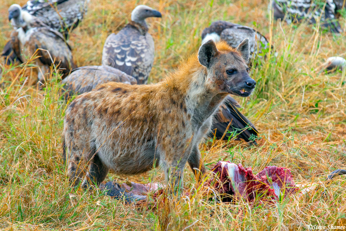Wildebeest was on the menu today for this hyena.