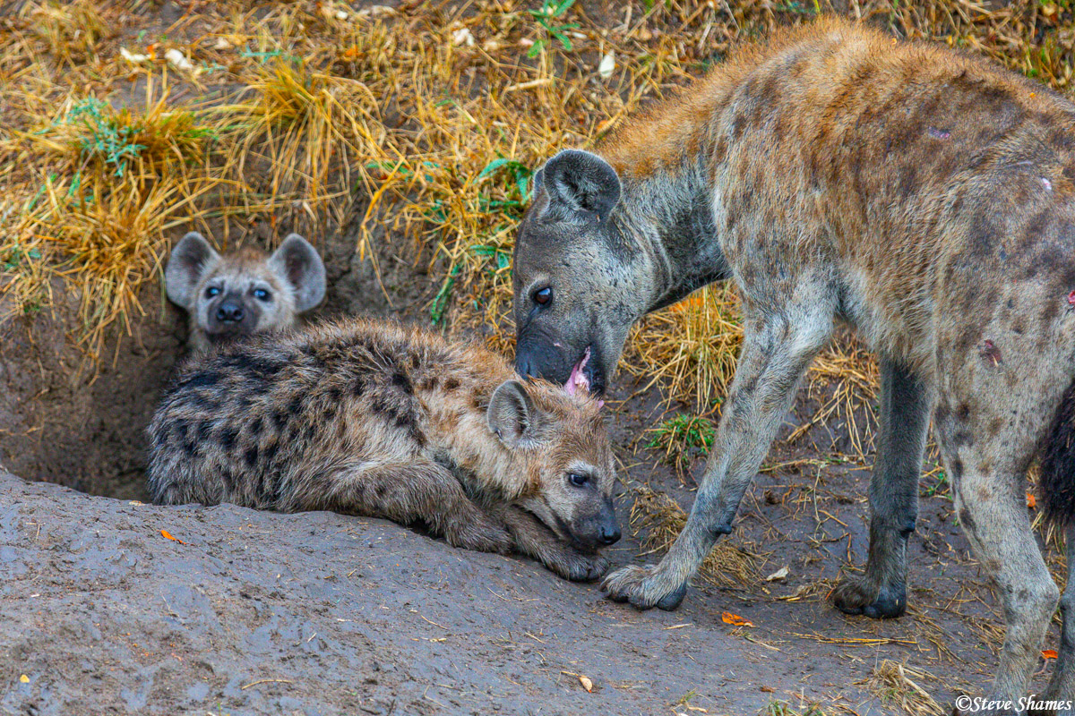 Hyenas at their den. Mother grooming her pup.