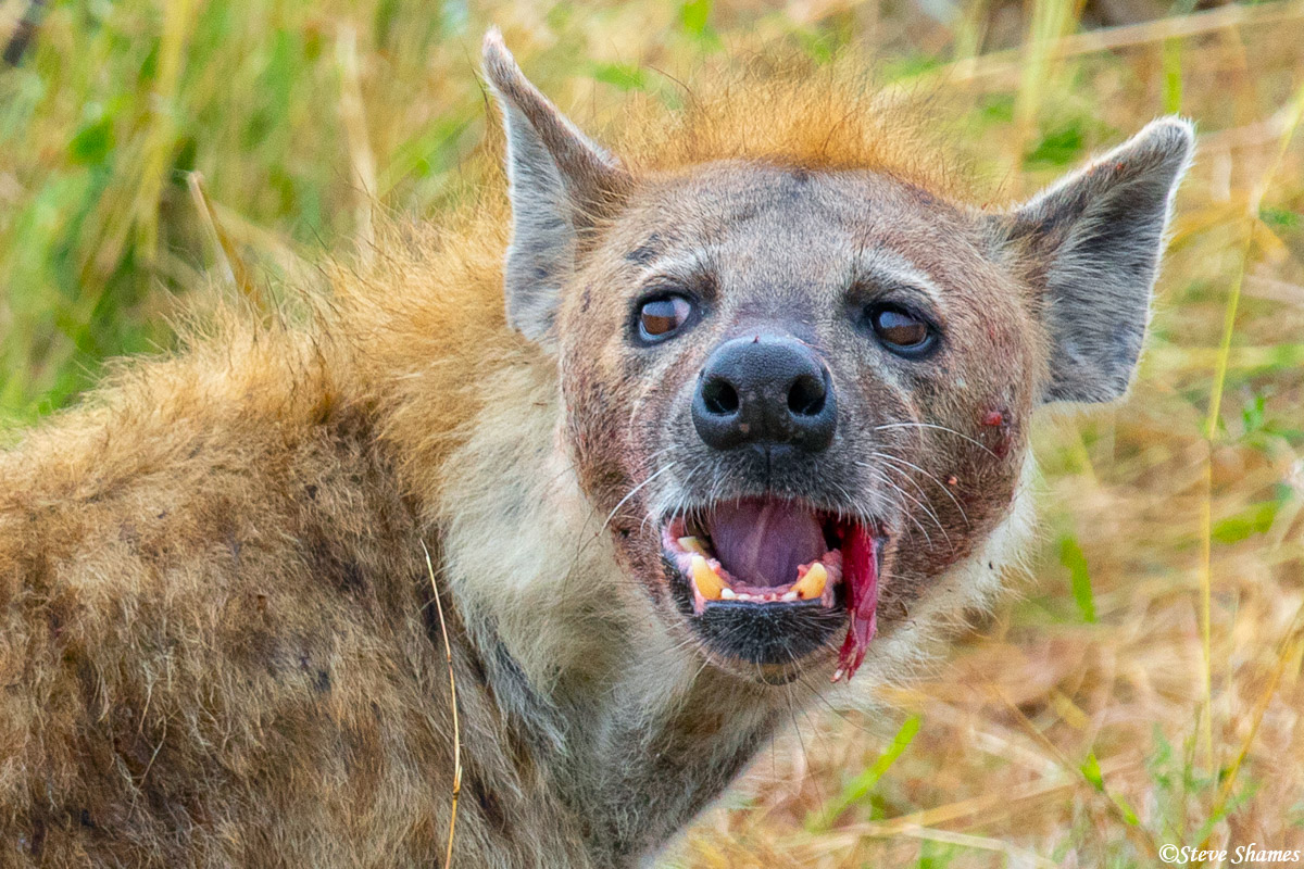 This hyena paused for a portrait while eating.