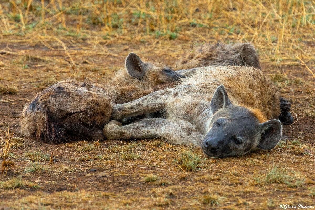 Hyena pup nursing. That's looking like a pretty big pup.