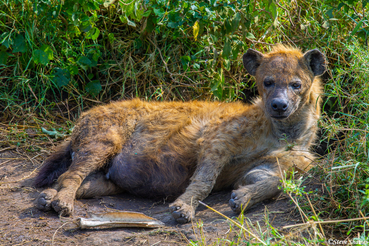 A hyena taking it easy.