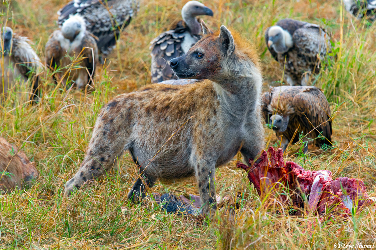Vultures waiting their turn. Hyenas eat first.