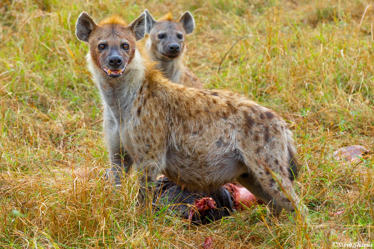 We came across a couple of hyenas finishing off a wildebeest. About all that was left was the head.