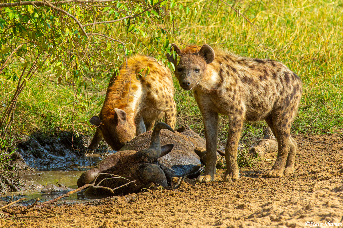 Hyenas in the middle of the day, having a wildebeest for lunch.