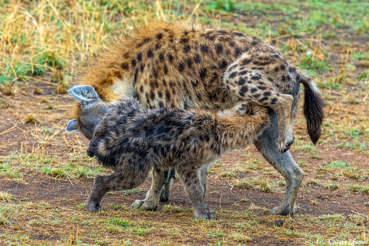 """Hyenas greeting each other, the way hyenas like to do. Humans do a handshake or a """"hello"""", but hyenas prefer this method."""