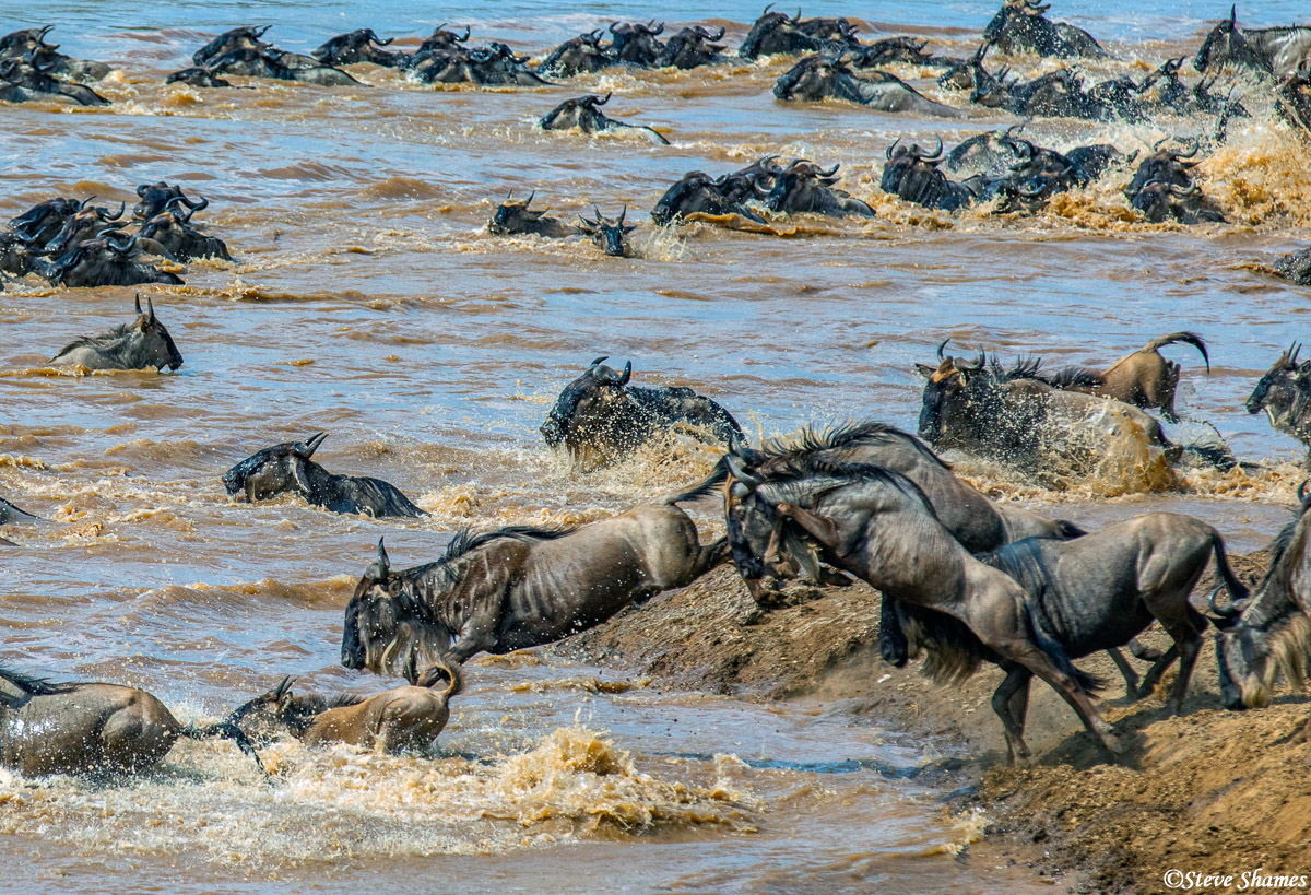 Wildebeest jumping off the banks of the Mara River like an Olympic diver.