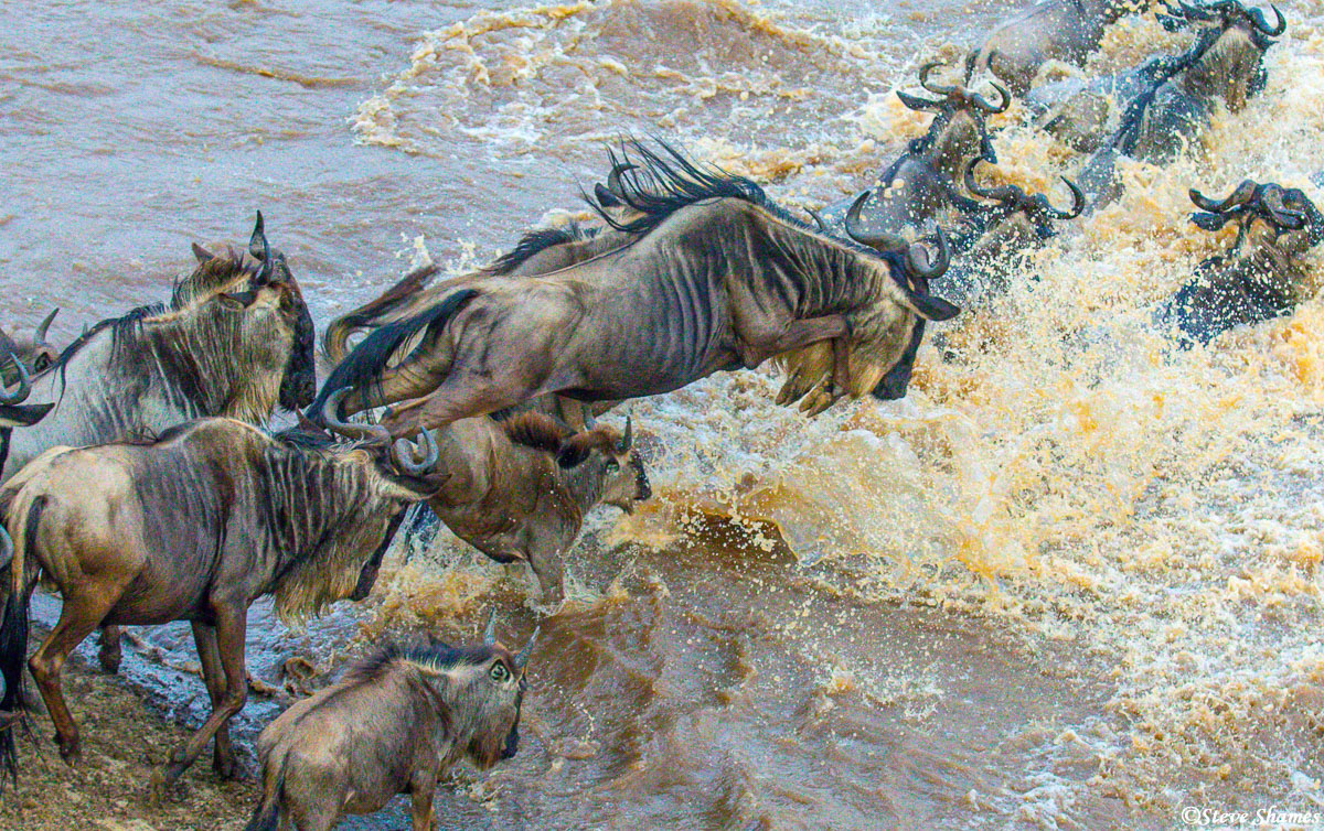 Daily herd of wildebeest jumping into the Mara River.