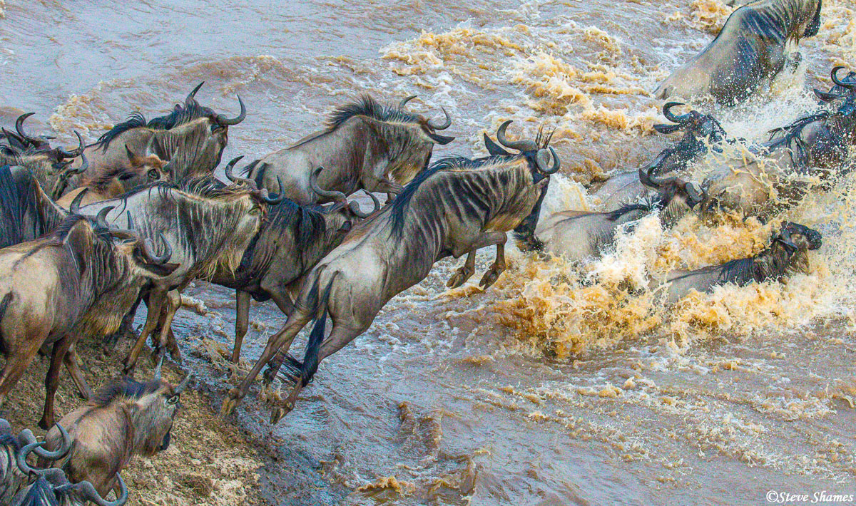 We never got tired of watching the wildebeest in their daily crossing of the Mara River.
