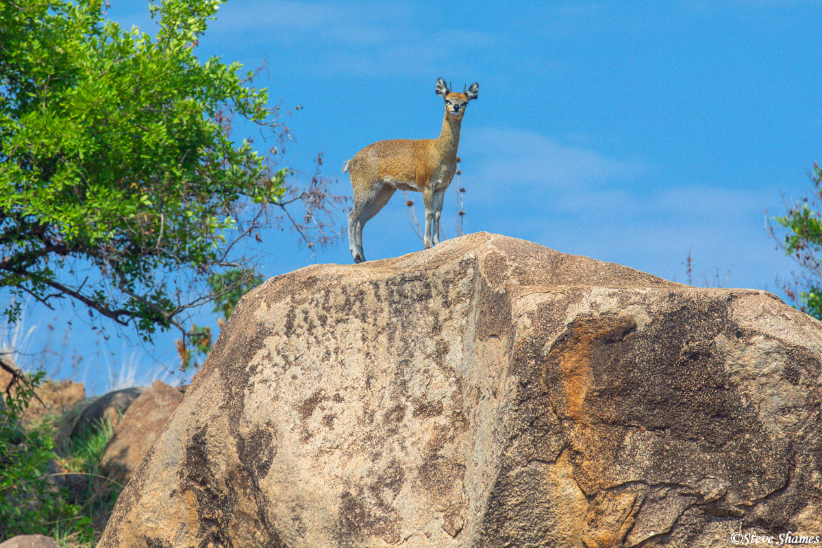"This little guy is a Klipspringer. Also known as a ""Cliff Springer"", which makes mores sense because they jump around among the..."