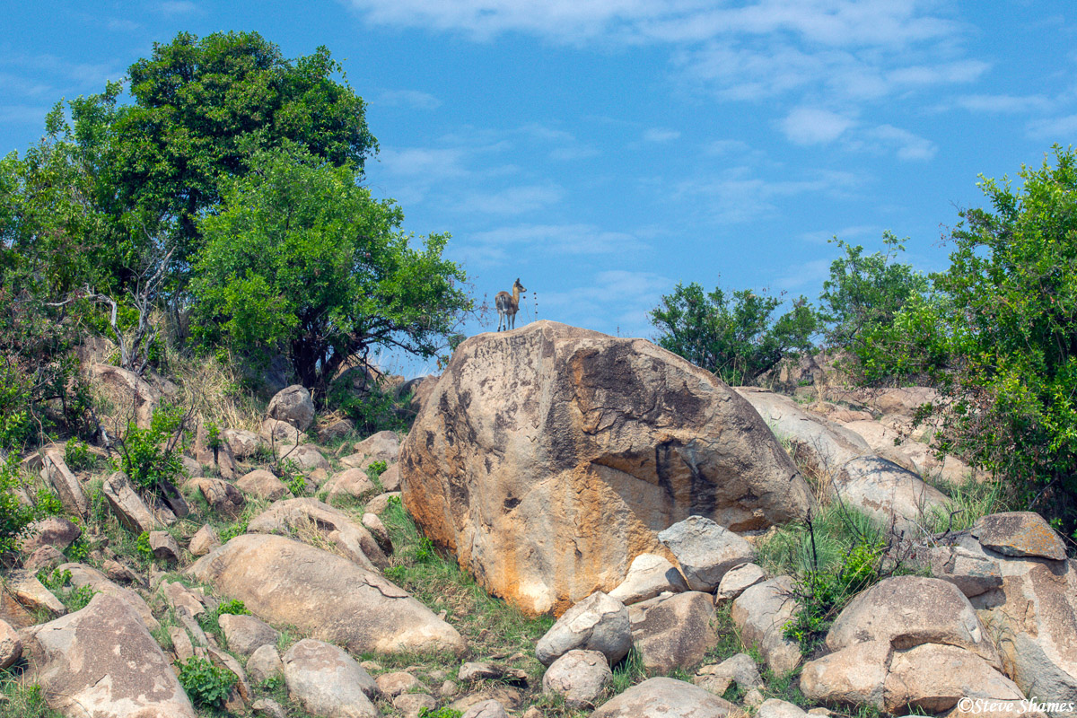 These rocky outcroppings are called kopjes, and are home to many animals including this klipspringer. Leopards like to hang out...