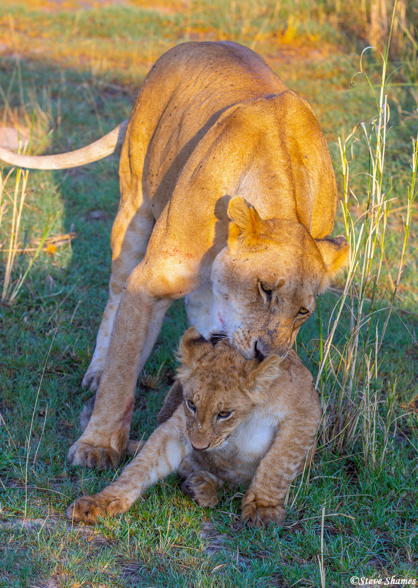This cub is getting to be just a little to big for its mother to pick it up and move.